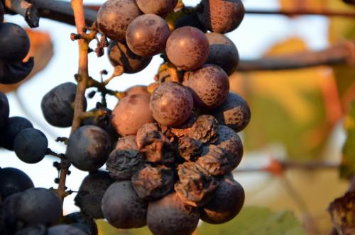 Ciocca D'uva dimenticata